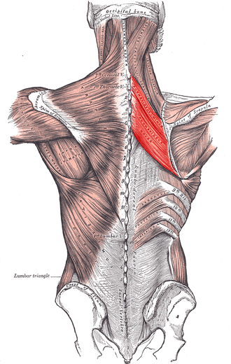 Rhomboid muscles - Muscles connecting the upper extremity to the vertebral column.