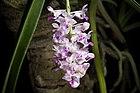 Rhynchostylis retusa (L.) Blume, Bijdr. Fl. Ned. Ind. 286 (1825) (42929823051).jpg