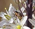 Rhyncomyia columbina. Calliphoridae (32244524534).jpg