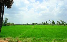 Rice paddy fields.jpg