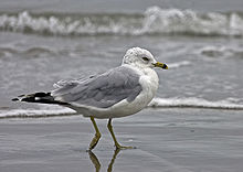 A gull with a speckled head and a yellow beak with a black stripe stands before the oncoming tide