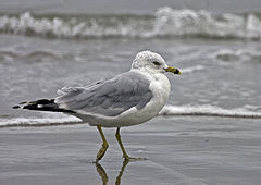 Ring-billed Gull eb.jpg