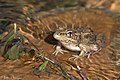 Rio Grande Leopard Frog Quinta Mazatlan McAllen TX 2018-03-02 09-30-36 (39728560015).jpg