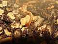 Roasted early morels 09.JPG