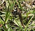 Robberfly. Asilidae (24133764208).jpg