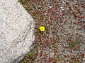 Rock and A Spring Flower in the Big Tujunga Canyon.JPG