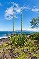 Rocky beach plant Maui Hawaii (43923104120).jpg