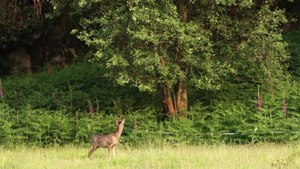 File:Roe deer in England.webm