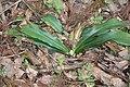 Rohdea japonica s9.jpg