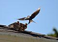 Rooftop bird family.JPG