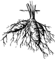 Roots - Tuberous (PSF).png