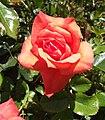 Rosa-marmaladeskies.jpg