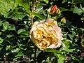 Rosa 'Lampion' (d.j.b) 02.jpg