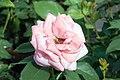 Rosa Gene Boerner 4zz.jpg