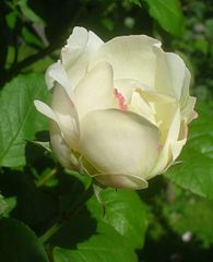 Rosa Winchester Cathedral 1.jpg