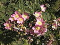 Rosa glauca inflorescence (29).jpg