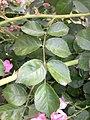Rosa majalis leaf (04).jpg
