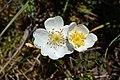 Rosa spinosissima inflorescence (66).jpg