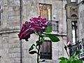 Rosas en Anaya (5928133740).jpg
