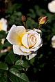 Rose, Moonsprite - Flickr - nekonomania (8).jpg