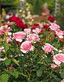 Rose, Penthouse, バラ, ペントハウス, (10485907393).jpg