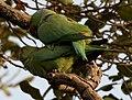 Rose-ringed Parakeet (Psittacula krameri) W IMG 6649.jpg