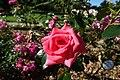 Rose garden @ Parc de Bagatelle @ Paris (28100315180).jpg