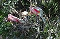 Roseate Spoonbills on nest by Bonnie Gruenberg2.jpg