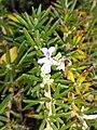 Rosemary plant by Prahlad balaji 1.jpg