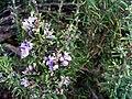 Rosmarinus officinalis FlowerCloseup DehesaBoyaldePuertollano.jpg
