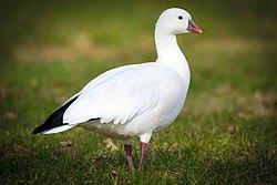 Ross's Goose (Chen rossii) (23108182770).jpg