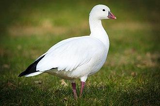 Chen (genus) - Image: Ross's Goose (Chen rossii) (23108182770)