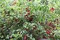 Rote Johannisbeeren (14602111867).jpg