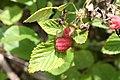 Rubus idaeus - img 22923.jpg