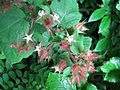 Rubus phoenicolasius 5449881.jpg