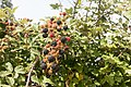 Rubus vestitus-Ronces-Fruits-20150731.jpg