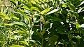 Ruby-throated Hummingbird (Archilochus colubris) - Guelph, Ontario.jpg