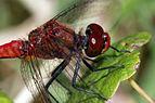 Ruddy darter dragonfly (Sympetrum sanguineum) adult male head.jpg