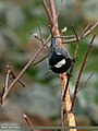 Rufous-naped Tit (Periparus rufonuchalis) (21226032985).jpg