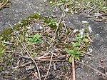 Ruhland, Grenzstr. 3, Frühlings-Hungerblümchen auf der Garagenausfahrt, Frühling, 04.jpg