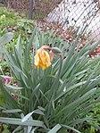 Ruhland, Grenzstr. 3, Gelbe Narzisse, verblüht mit wachsender Samenkapsel, Frühling, 01.jpg