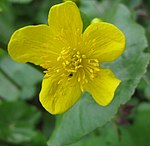 Ruhland, Grenzstr. 3, Sumpfdotterblume am Gartenteich, Blüte, Frühlung, 01.jpg