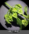 Rumex stenophyllus sl7.jpg