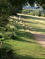 Runner, Leckhampton Hill - geograph.org.uk - 976922.jpg