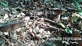 Russula nigricans 3.jpg