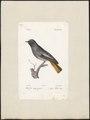 Ruticilla tithys - 1842-1848 - Print - Iconographia Zoologica - Special Collections University of Amsterdam - UBA01 IZ16200242.tif