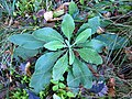 Saint-Girons - Pseudoturritis turrita - 20121030 (1).JPG