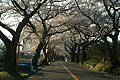 Sakura road - panoramio.jpg