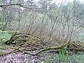 Salix cinerea kz16.jpg