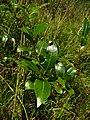 Salix pentandra IMG 4837^.jpg